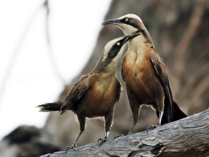 How do Grey-crowned Babbler group dynamics and dispersal change over time in an urban habitat?